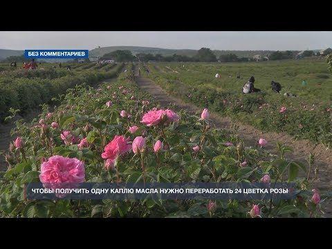 На самом крупном поле в Крыму собирают эфиромасличную розу
