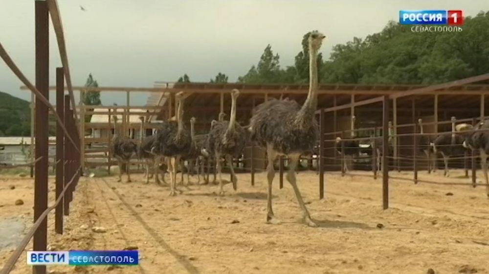 В Крыму впервые занялись разведением страусов