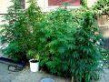 Полиция Крыма призывает сообщать, «где растёт наркотик»