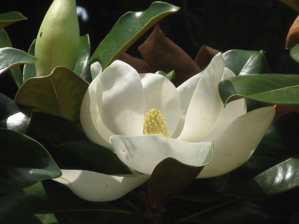 В Никитском ботаническом саду — удивительная красота. Цветёт магнолия