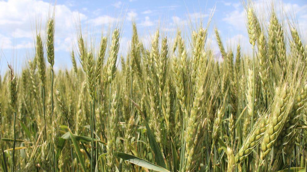 Минсельхоз Крыма довел до крымских аграриев более 1 млрд 241 млн рублей - Андрей Рюмшин