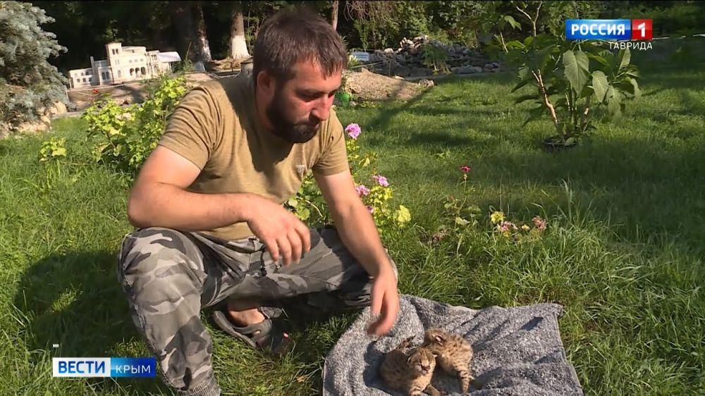 Сотрудник зоопарка в Бахчисарае заменил родителей детенышам сервалов