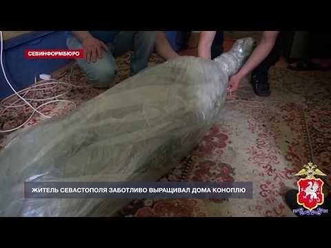 Житель Севастополя заботливо выращивал дома коноплю