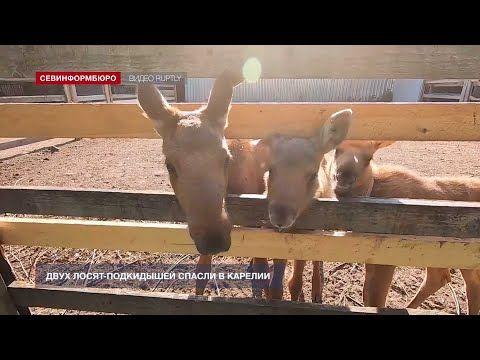 Двух лосят-подкидышей спасли в Карелии