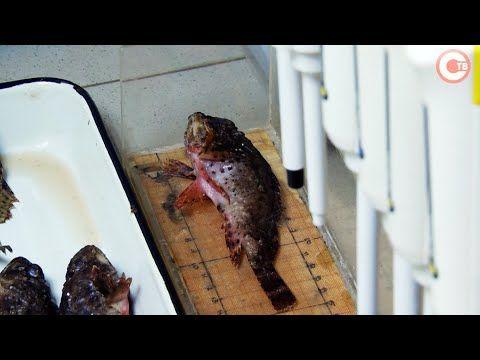 В Институте биологии южных морей изучили печень морского ерша (СЮЖЕТ)