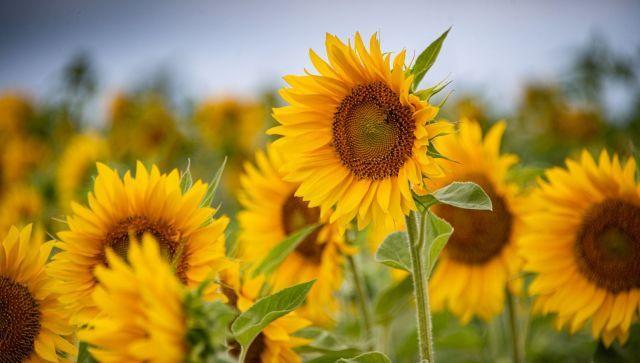 Цвет солнца: завораживающее видео цветущих полей подсолнухов в Крыму
