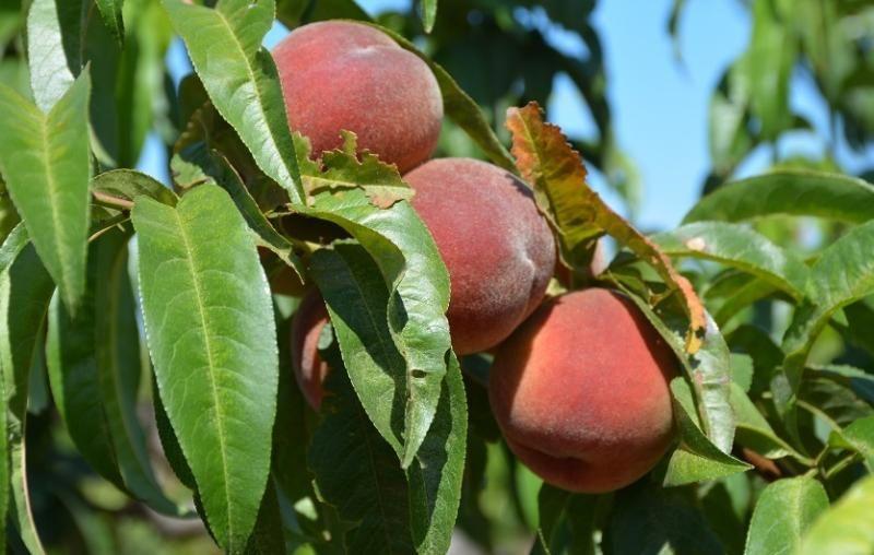 В Севастополе собрана четверть запланированного урожая персиков и других косточковых фруктов