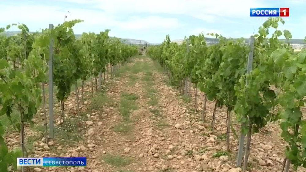 С какими проблемами сталкиваются виноделы Севастополя