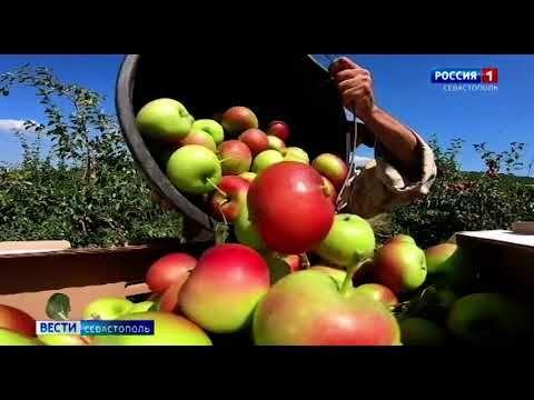 В Севастополе начался сбор яблок