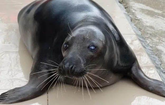 Тюлень Маэстро покинул сафари-парк «Тайган». А куда поехал?