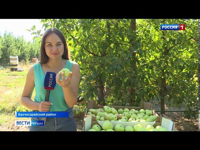 Крупный урожай яблок собирают в Крыму