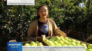 В Крыму начался сбор яблок