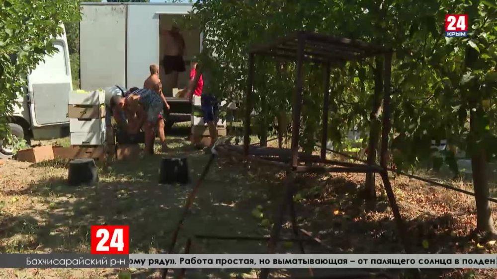 Аграрии полуострова собрали первые двести тонн крымских яблок