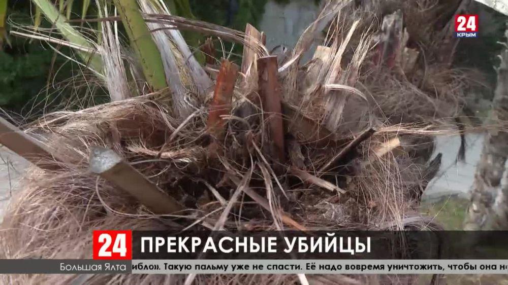Пальмы Южного берега Крыма планомерно уничтожают уругвайские огнёвки