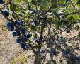 В Крыму на 50% увеличилась площадь плодоносящих насаждений сливы