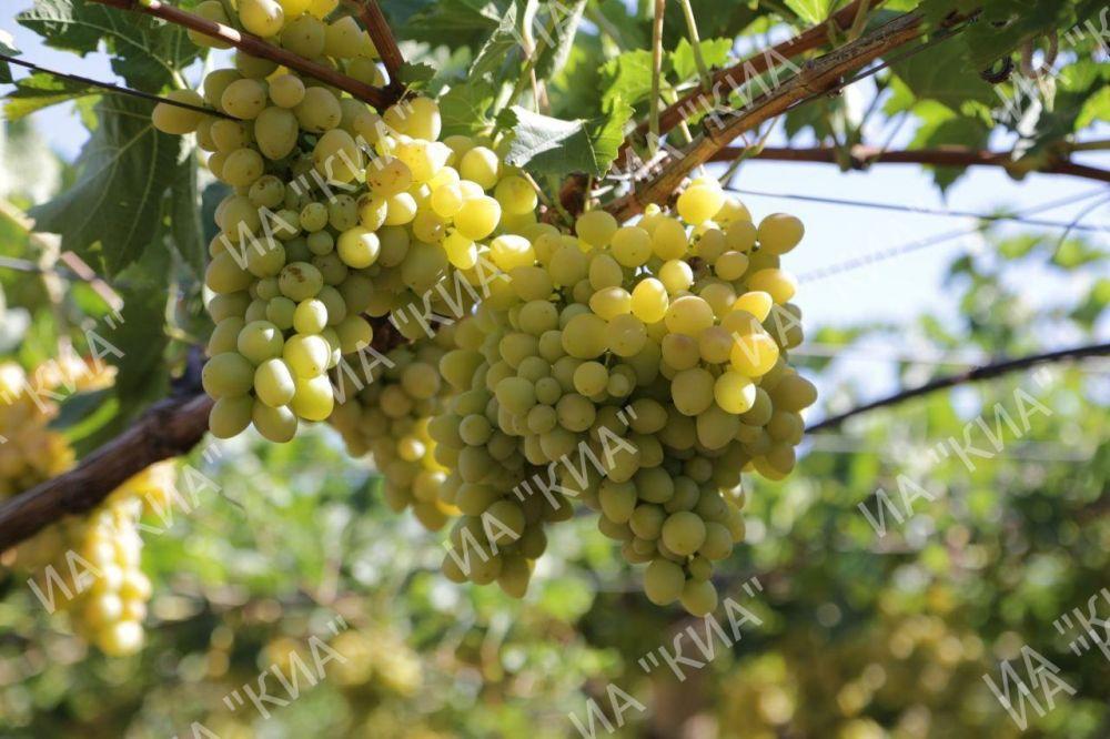 Крымские виноградари и виноделы получили почти полмиллиарда рублей господдержки