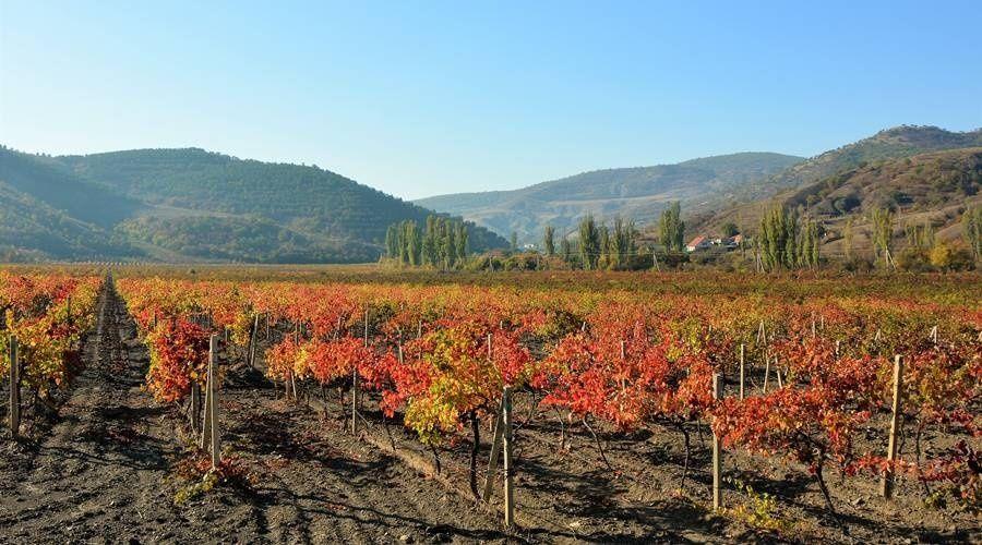 Минсельхоз Крыма довел до виноградарей все 490 млн рублей субсидий на развитие отрасли