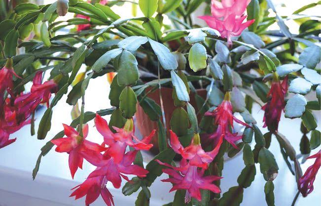Секреты пышного цветения
