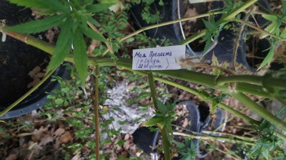 В Ялтинском заповеднике отец с сыном выращивали коноплю