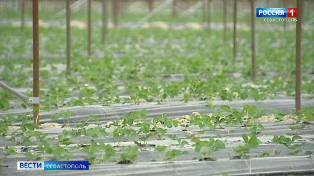 Севастопольским аграриям выделят около 100 миллионов рублей на развитие