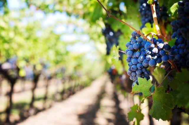 Двое жителей Феодосии украли у винно-коньячного завода три центнера винограда