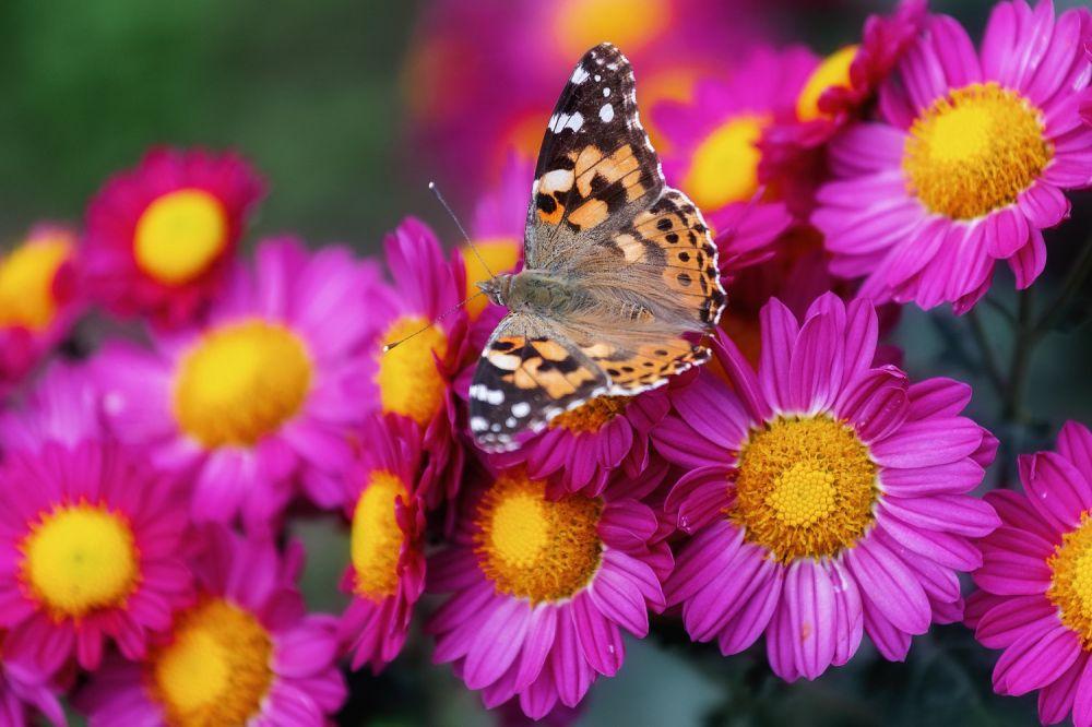 В Никитском ботсаду зацветут 35 тысяч хризантем