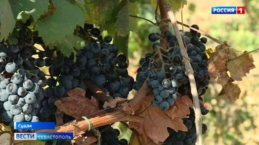 У крымского вина урожая 2020 года есть все шансы стать коллекционным