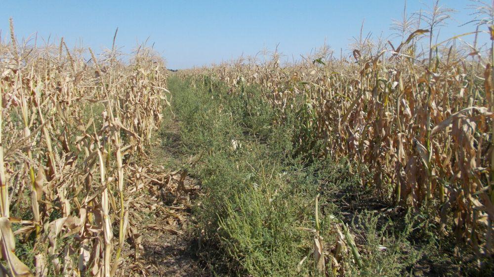 Сезон амброзии: как в Красногвардейском районе Республики Крым борются с опасным сорняком?
