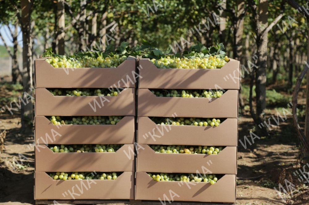 В Крыму завершают уборку винограда