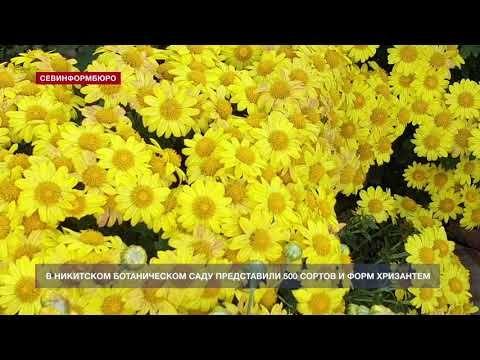Бал хризантем в Никитском ботаническом саду бьёт все рекорды