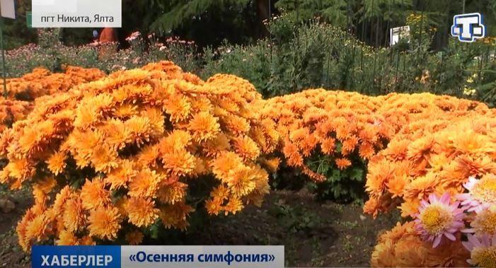 В Никитском ботаническом саду начался «бал хризантем»