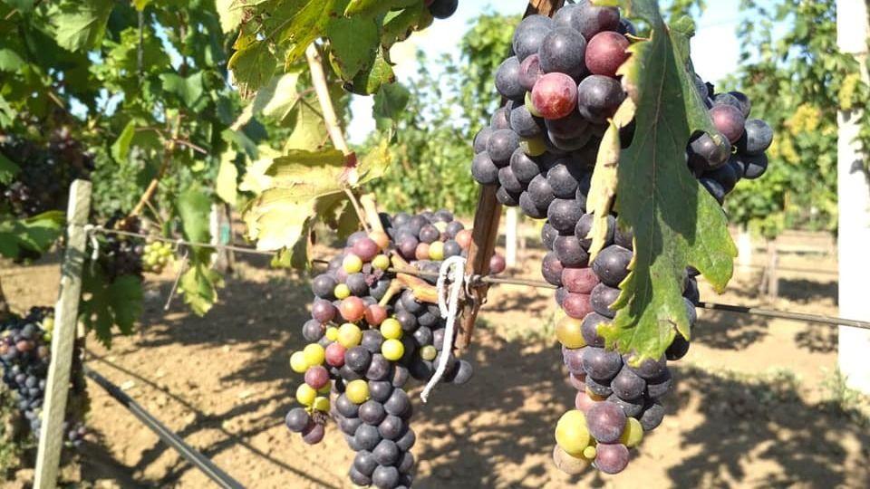 Андрей Рюмшин: На территории городского округа Судак начата закладка виноградников