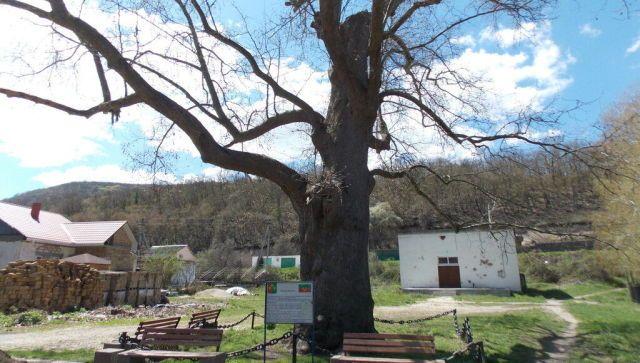 Ученые выяснили возраст знаменитого дерева-великана в Крыму