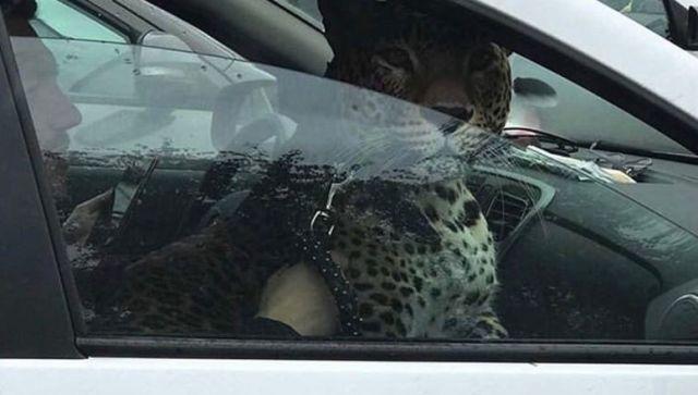 Леопард на переднем сиденье такси поразил пользователей соцсетей