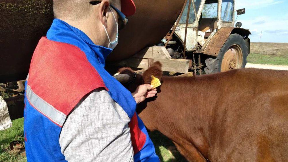Специалистами ГБУ РК «Сакский районный ВЛПЦ» проводится идентификация, а также обязательные противоэпизоотические мероприятия на поголовье крупного рогатого скота в личных подсобных и фермерских хозяйствах Сакского района