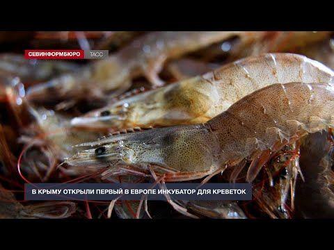 В Крыму открыли первый в Европе инкубатор для креветок