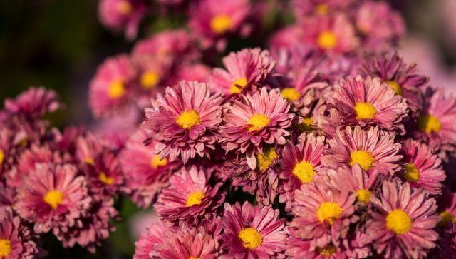 В ботаническом саду КФУ пришла пора хризантем – фотофакт