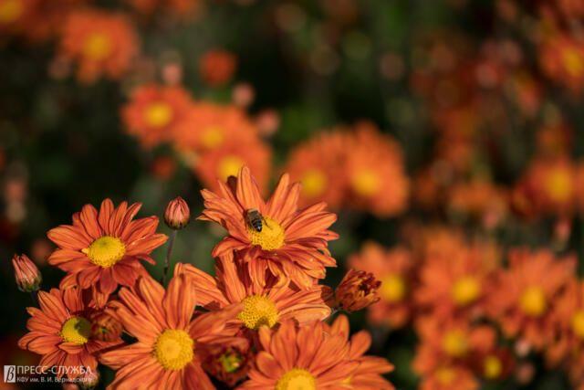 В Ботаническом саду КФУ испытывают более 100 гибридов хризантем