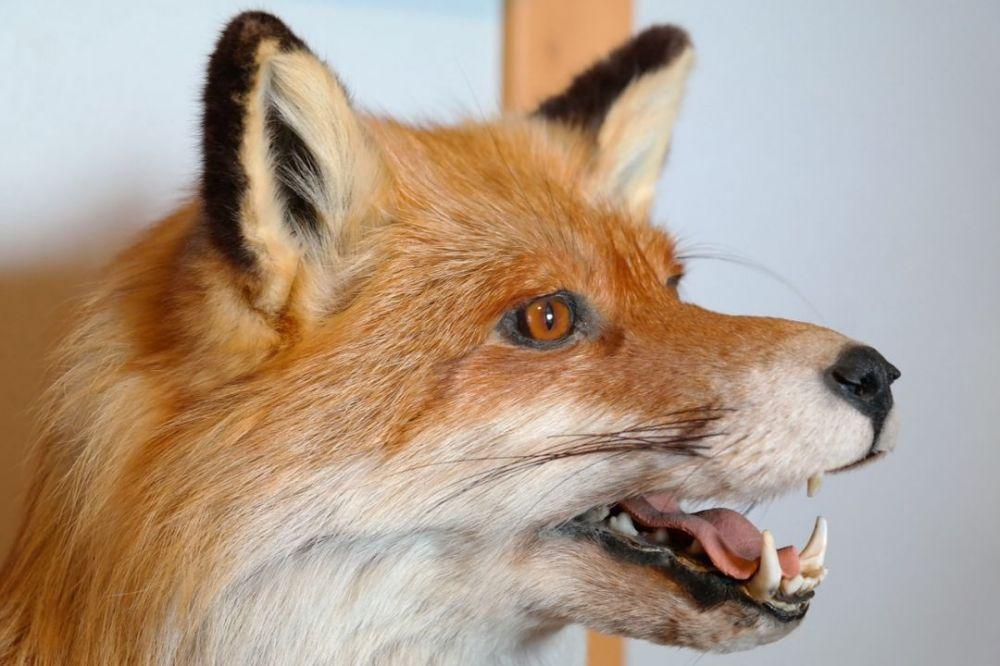 В крымском селе вводят карантин на два месяца из-за бешеной лисы
