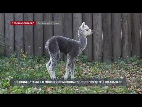 В Московском зоопарке родился детёныш альпаки