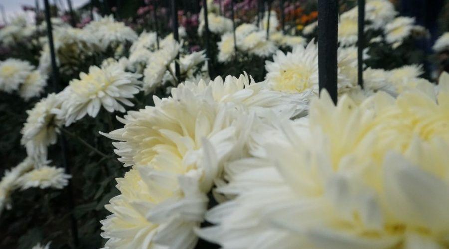Любимое место Чехова в Ялте будет увековечено в названии нового сорта хризантем