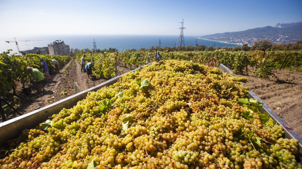 Крымские аграрии завершили сбор винограда урожая-2020 - Андрей Рюмшин