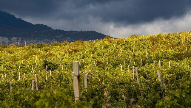 В Крыму посчитали урожай винограда