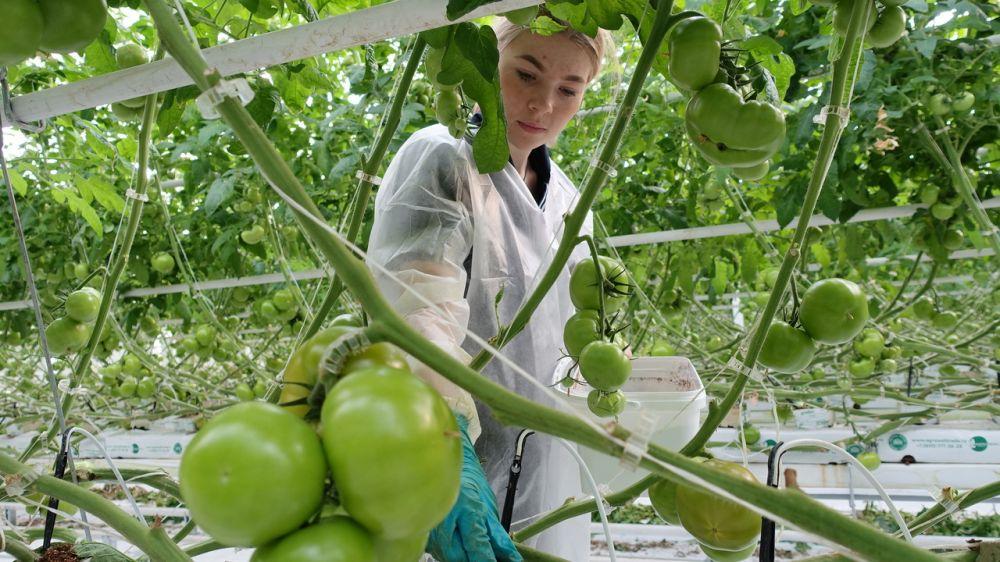 Инвестор вложит в развитие производства тепличных овощей Республики Крым более четырех миллиардов рублей - Андрей Рюмшин