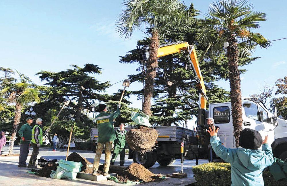 В Ялте сажают новые пальмы
