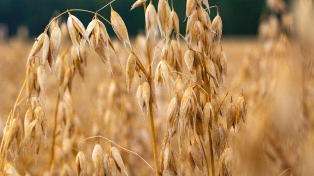 Минимущество Крыма предоставит в аренду земельный участок для выращивания зерновых культур