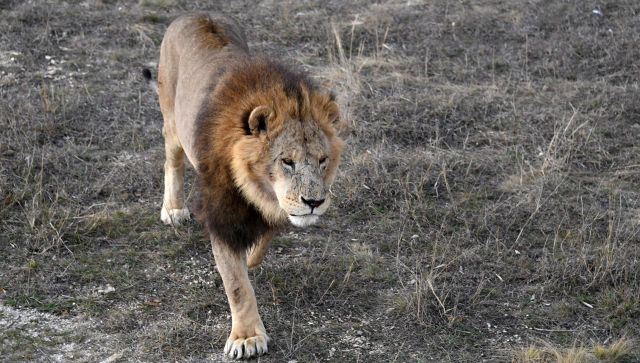 Зубкова обвинили в убийстве льва: куда пропал пятилетний Алишка?
