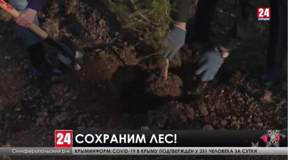 На месте сгоревшего леса через несколько лет в Симферопольском районе вырастут мощные сосны и кедры