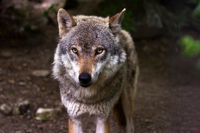 Крымчанину грозит 2 года тюрьмы за жестокое обращение с волком на глазах у ребенка
