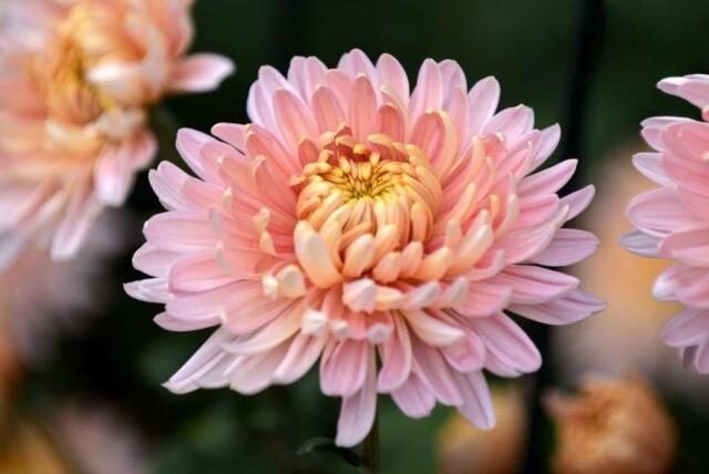 В Никитском ботаническом саду выбрали королеву Бала хризантем
